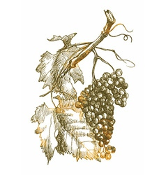 Nature grapes vector