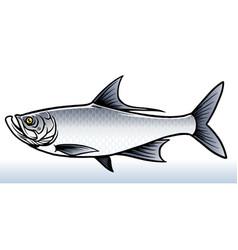 Salwater fish tarpon fish vector