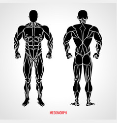 Body type mesomorph front and back view vector
