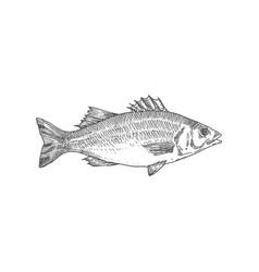 Sea bass hand drawn abstract vector