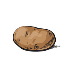 Sketch ripe raw unpeeled potato isolated vector
