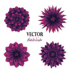 Dark puple dahlias collection vector