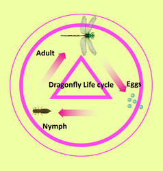 Life cycle a dragonfly vector
