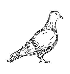 pigeon sketch doodle hand drawn vector image