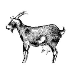 hand drawn goat farm animal vector image