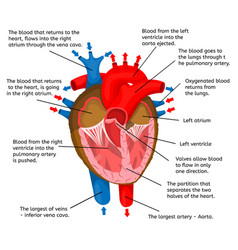 Heart of body in terms of animation structure vector