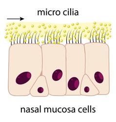 Nasal mucosa vector image vector image