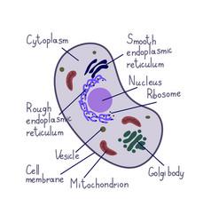 Eukaryote cell vector
