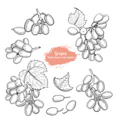 hand drawn grape collection sketch style vector image