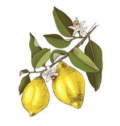 hand drawn blooming lemon branch with ripe fruits vector image