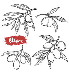 set of hand drawn olive isolated on white vector image