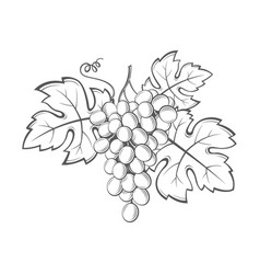 grapes bunches image vector image