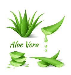 Set aloe vera realistic green plant leaves vector