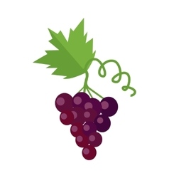 Bunch of Red Wine Grape vector image