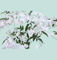 Star jasmine vector