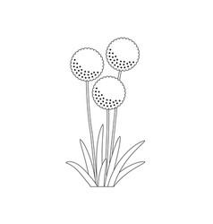 flowering onion allium cepa black and white vector image