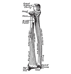 Ventral view of the bones of the forearm vintage vector
