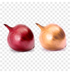 Whole bulb red and yellow onion vector image