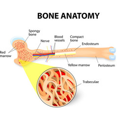 Bone anatomy vector