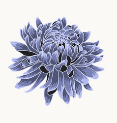 Colored and lined chrysanthemum flower vector