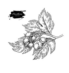 Hawthorn branch drawing plant sketch with vector