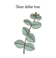 Silver dollar tree eucalyptus cinerea or argyle vector
