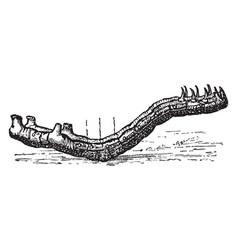 looper caterpillar vintage vector image