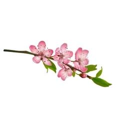 Cherry blossom sakura flowers isolated vector image vector image