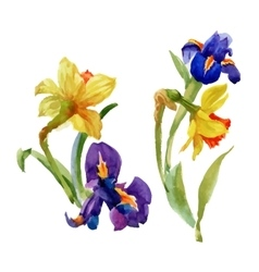 Watercolor Summer Garden Narcissus Blooming Flower vector image