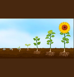 Diagram plant growth stages vector