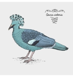 Victoria Crowned Pigeon engraved hand drawn vector