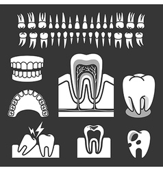 Human tooth anatomy vector image