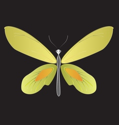 Yellow birdwings Butterfly vector image