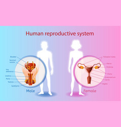 human reproductive system scientific chart vector image