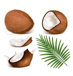 Coconuts with leaves vector image
