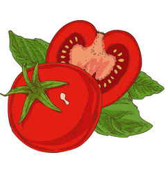 Red ripe tomato and green basil vector