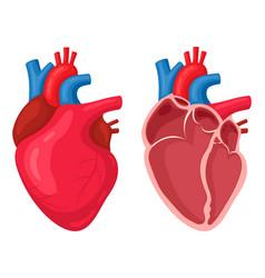 human heart anatomical muscular human pumps blood vector image