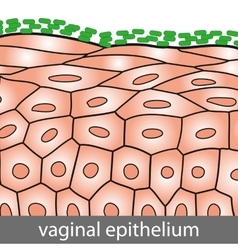 Vaginal Epithelium vector image