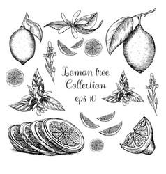 Hand drawn lemon tree collection vector