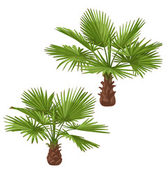Washingtonia palm trees isolated vector