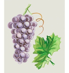 Grapes and leaves watercolor vector