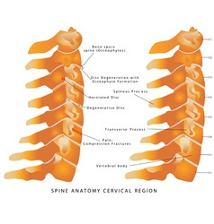 Cervical spine vector