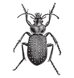 Fiery ground beetle vintage vector