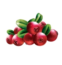 Red Cranberries With Leaves vector