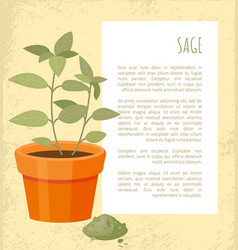Sage banner of plant in pot vector