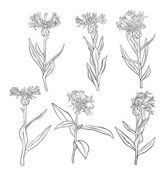 Set of drawing cornflowers vector