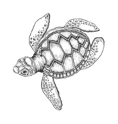 turtle engraving style vector image