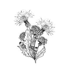 dandelion botanical black ink sketch bouqet vector image