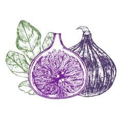 Fig Fruit Hand Draw Sketch vector
