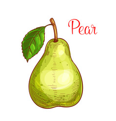 green pear fruit with leaf isolated sketch vector image